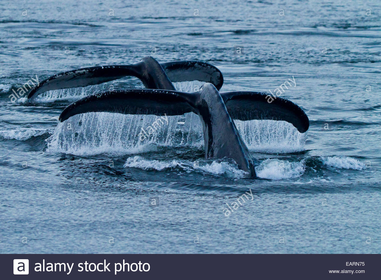 Two humpback whale flukes rise from the ocean. - Stock Image