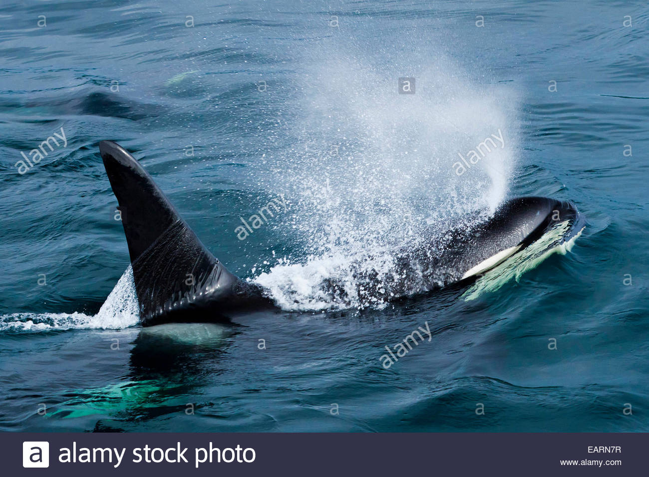View from above of a killer whale spraying through its blowhole. Stock Photo