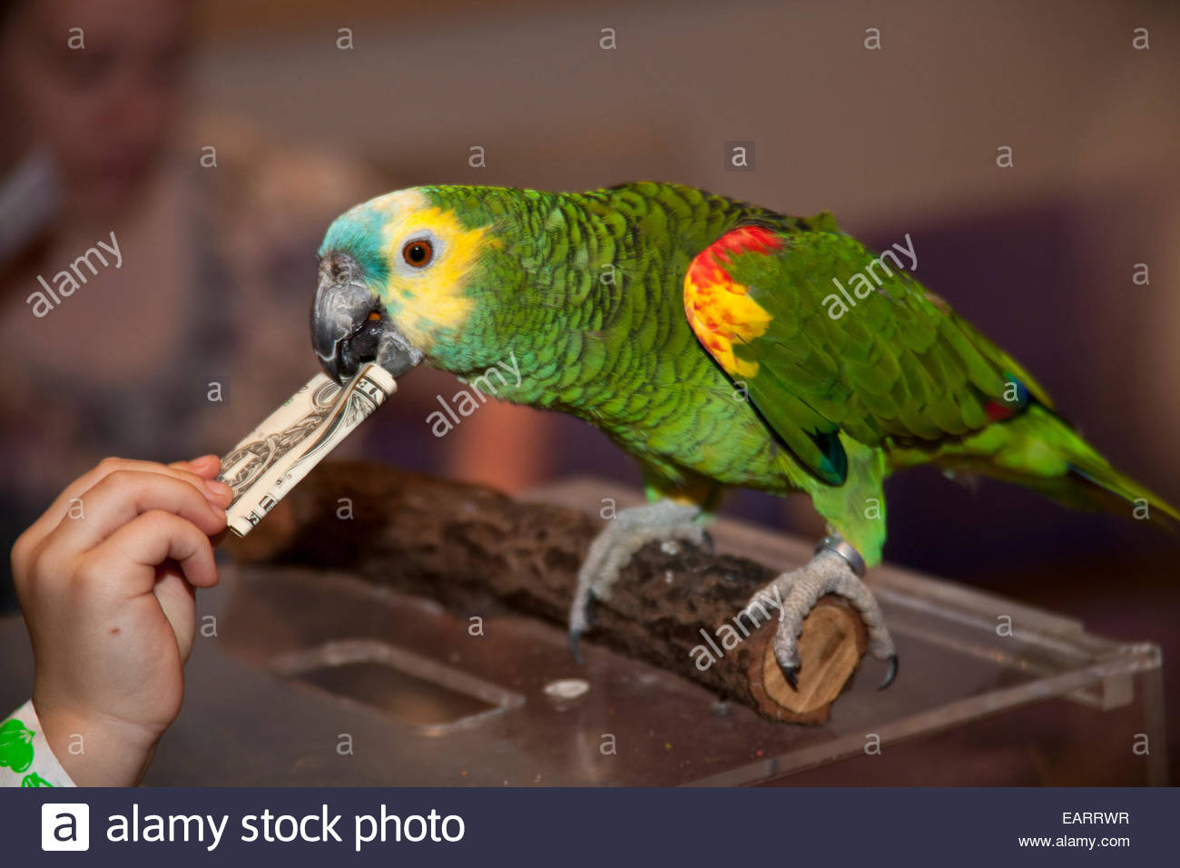 A trained Swainson's Lorikeet takes paper money and stuffs it into a box. - Stock Image