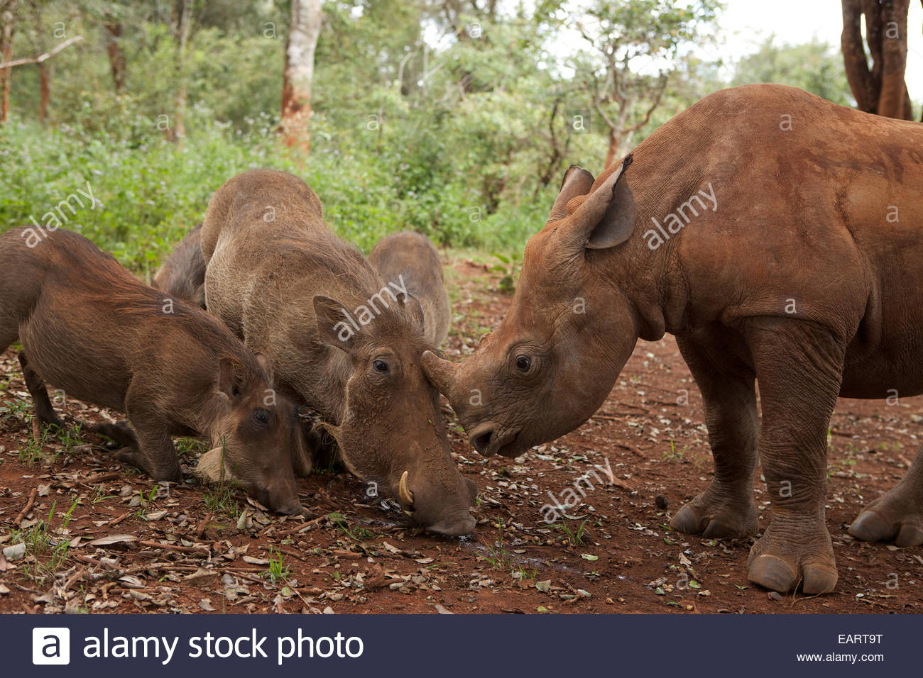 An orphan rhino socializes with wild pigs at the David Sheldrick Wildlife Orphanage. - Stock Image
