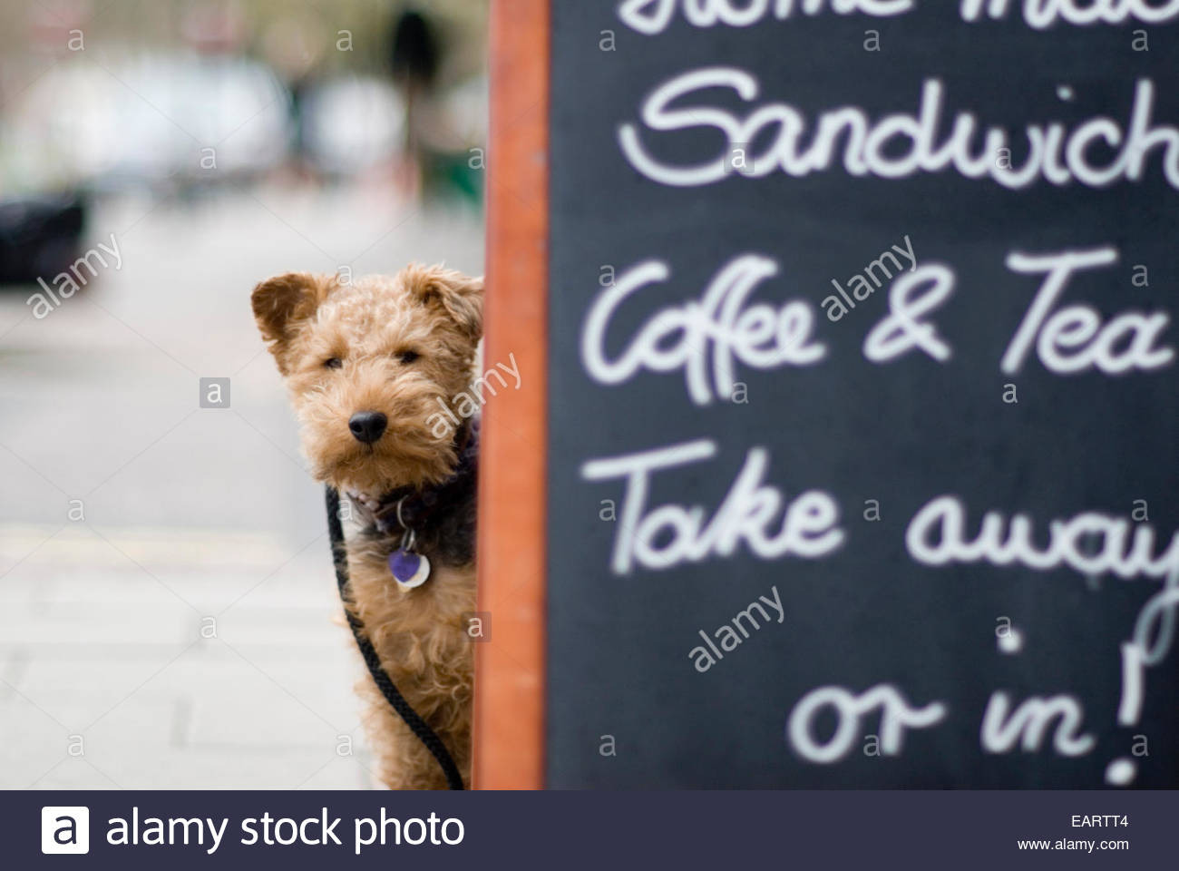 An irish terrier waits patiently outside a coffee shop for their owner - Stock Image