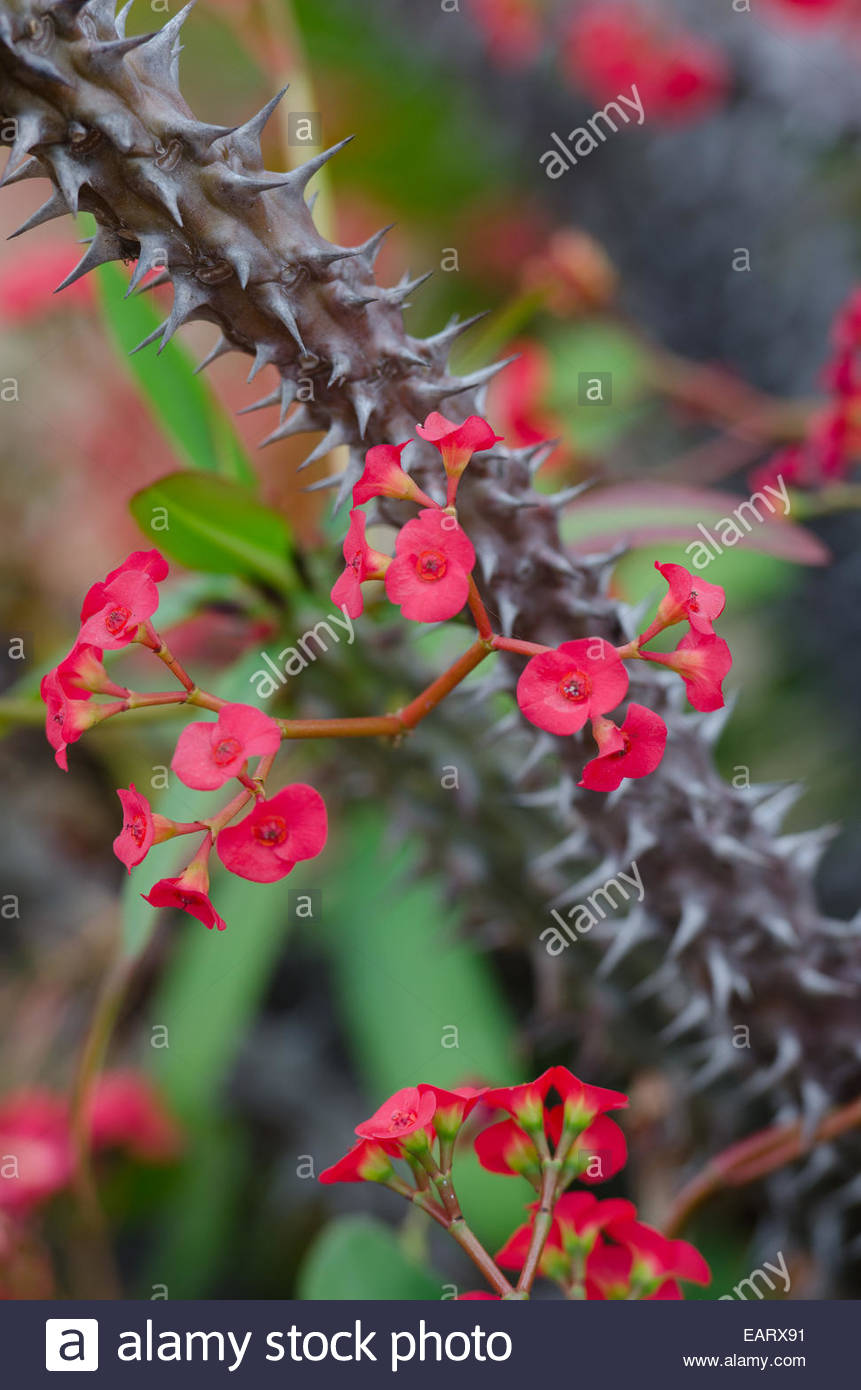 Euphorbia Milii Crown Of Thorns Cactus With Red Flowers
