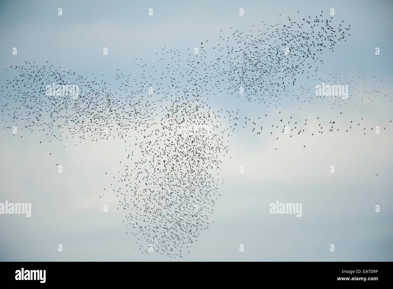 Starlings Sturnus vulgaris Murmuration Kent UK - Stock Image