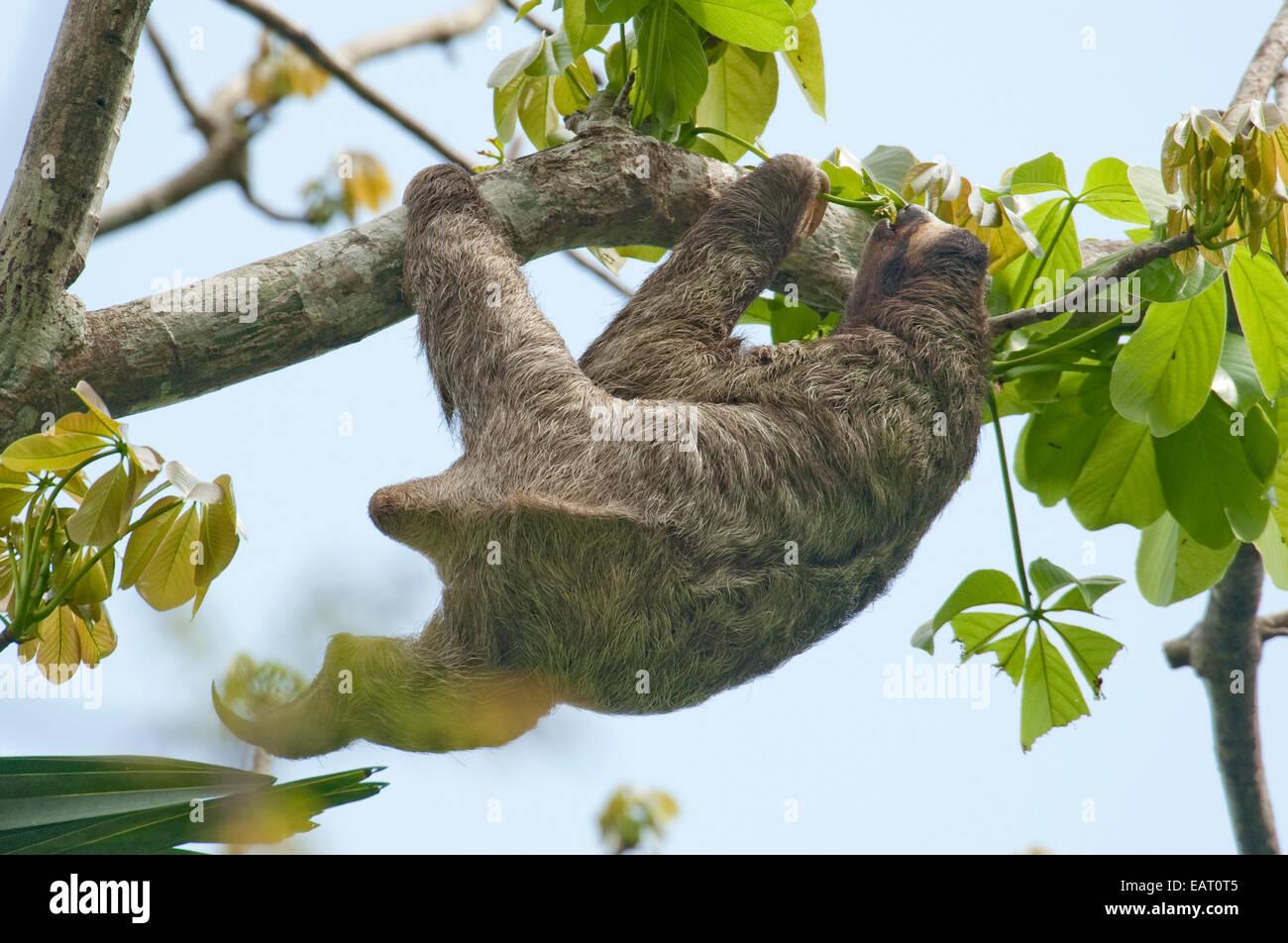 Brown Throated Sloth Bradypus variegatus Panama Stock Photo