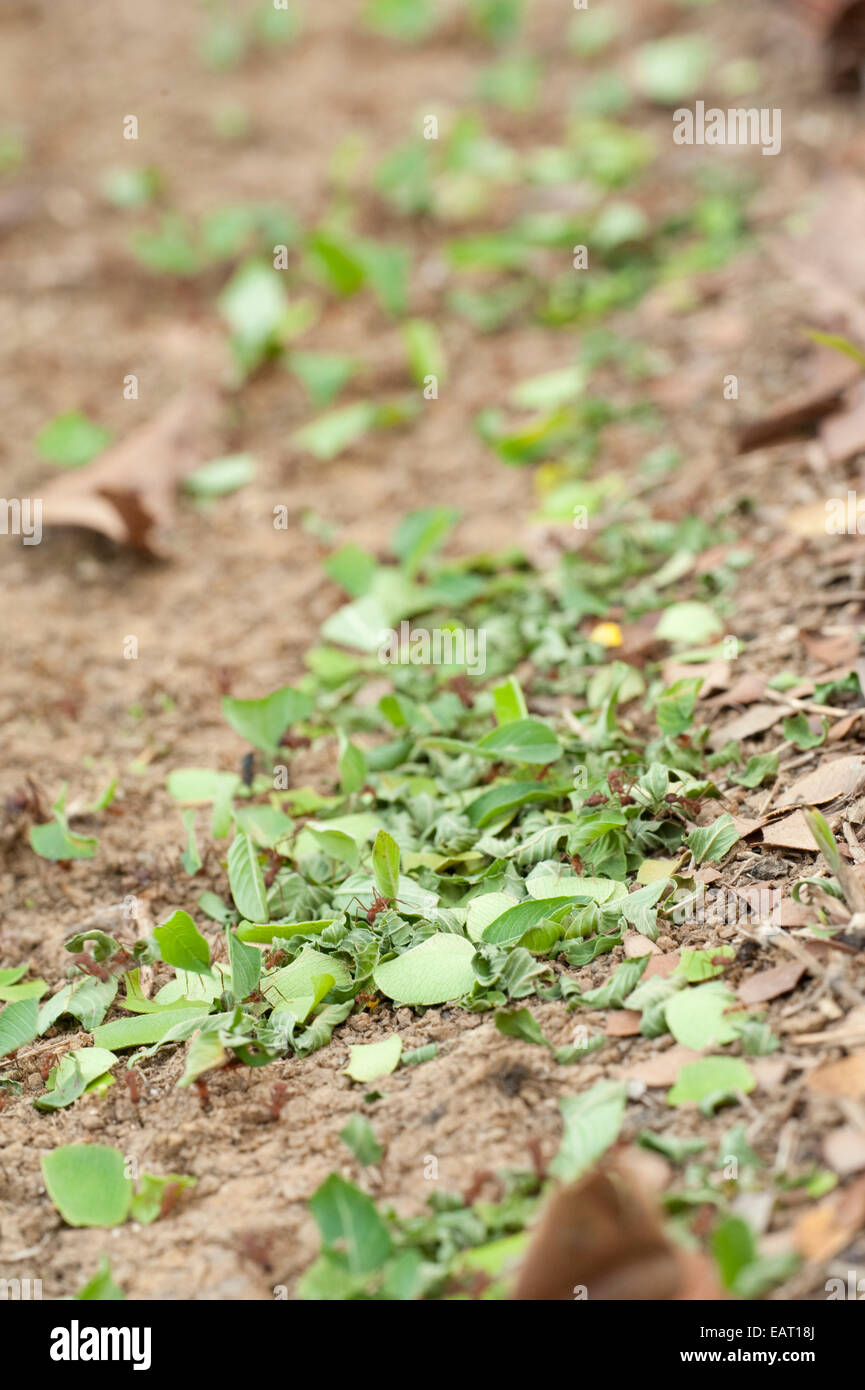 Leaf Cutter Ants Atta Hymenoptera formicidae Panama - Stock Image
