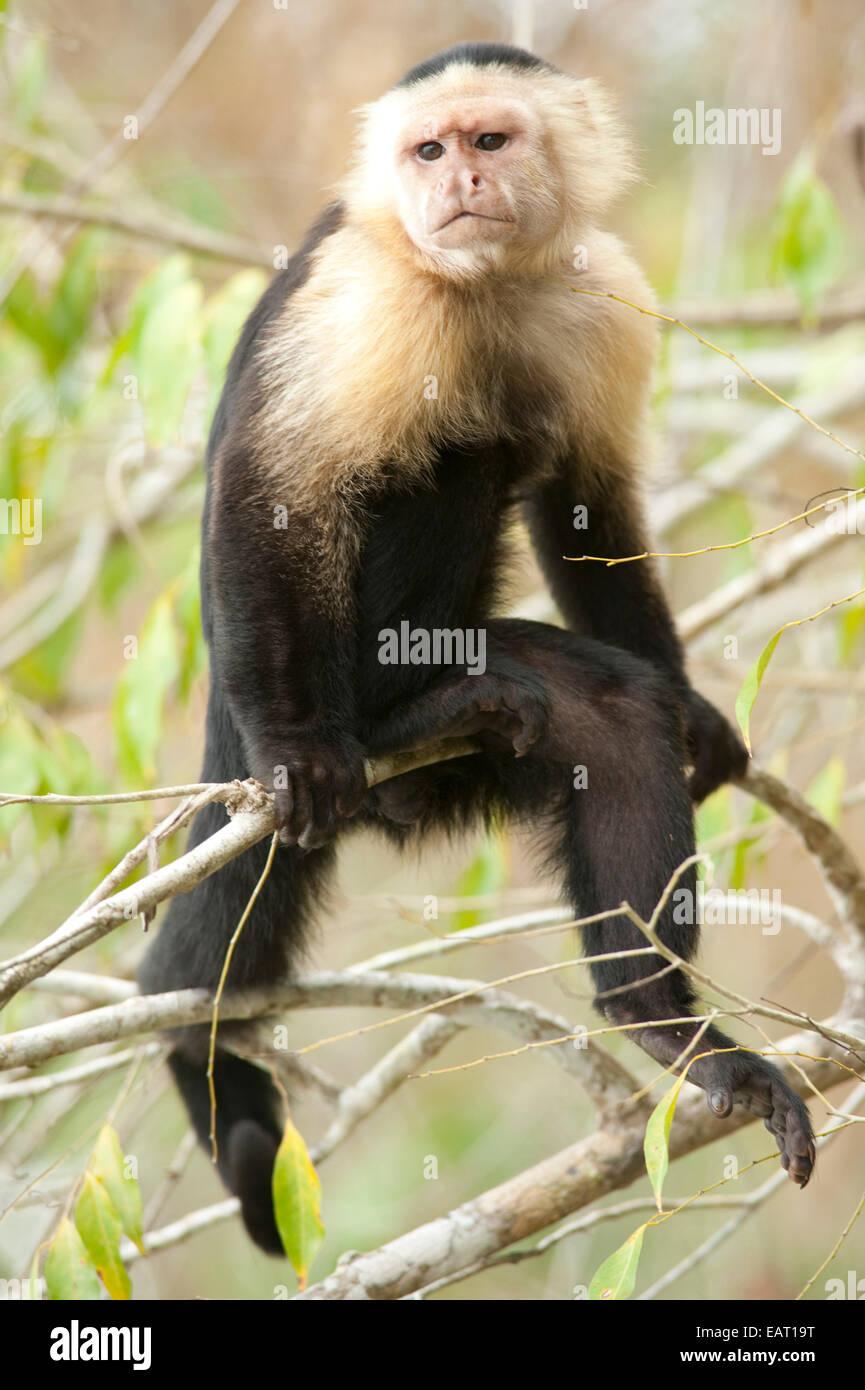 White Headed Capuchin Cebus capucinus Panama Stock Photo