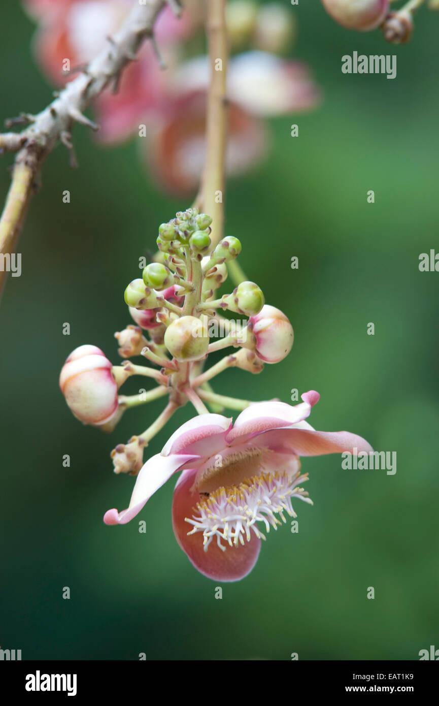 Canon Ball Tree Flower Couroupita guianensis Panama - Stock Image