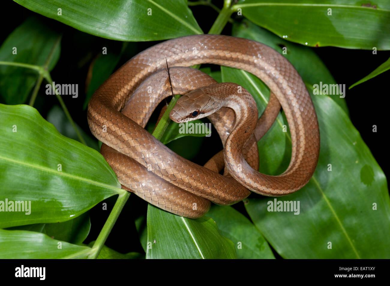 Salmon Bellied Racer Snake Dryadophis melanolomus Panama - Stock Image