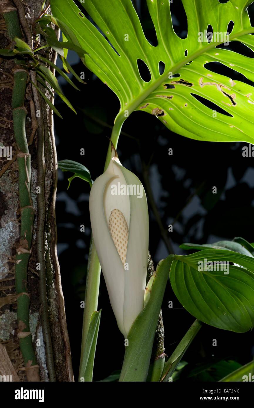 Fruit of Monstera deliciosa Panama - Stock Image