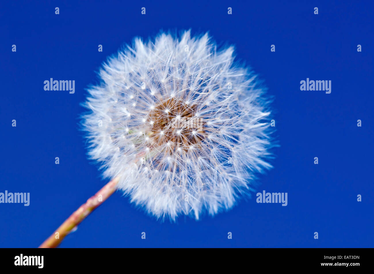 Dandelion flower on blue sky background - Stock Image