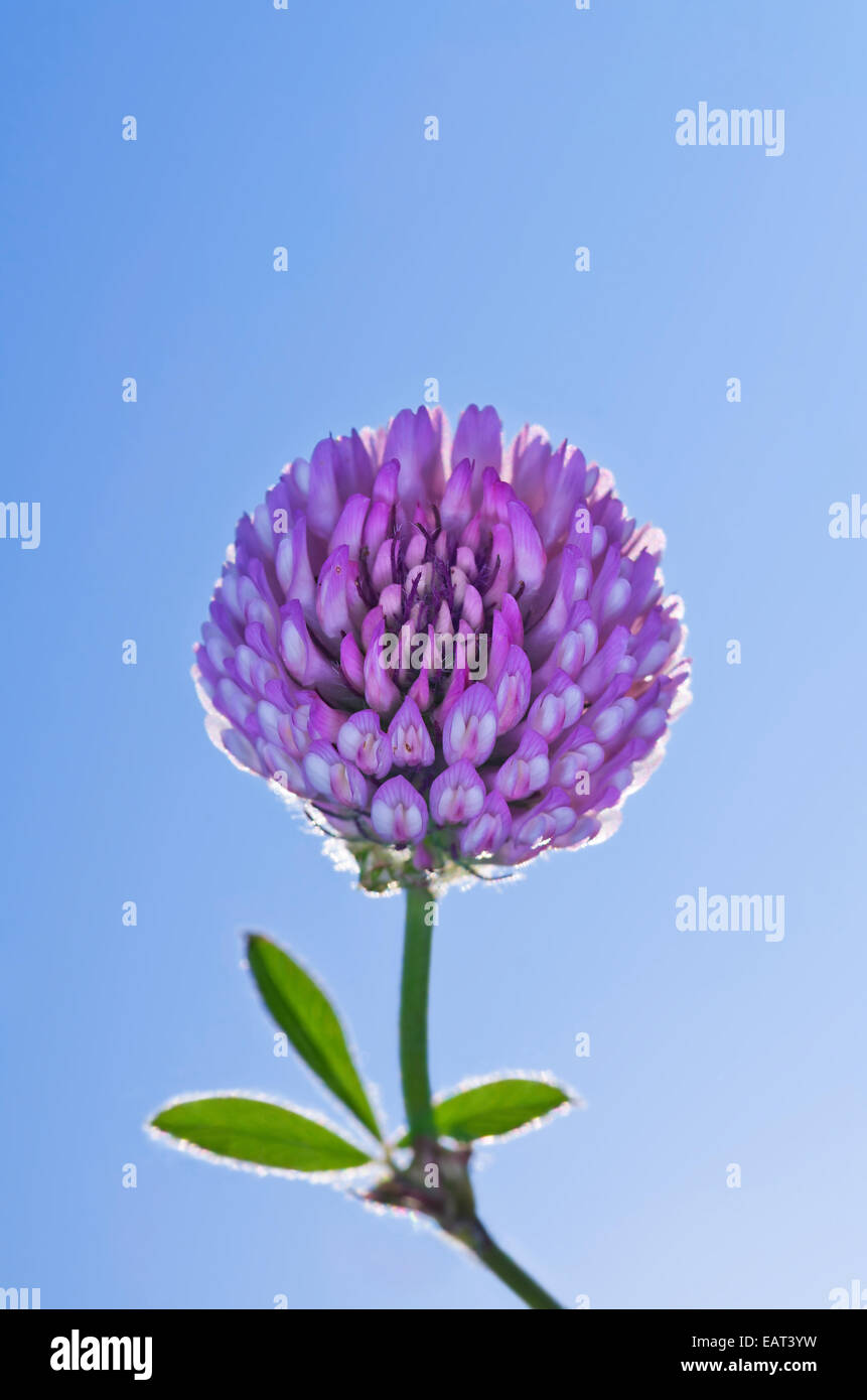Glowing purple clover flower on blue sky background - Stock Image