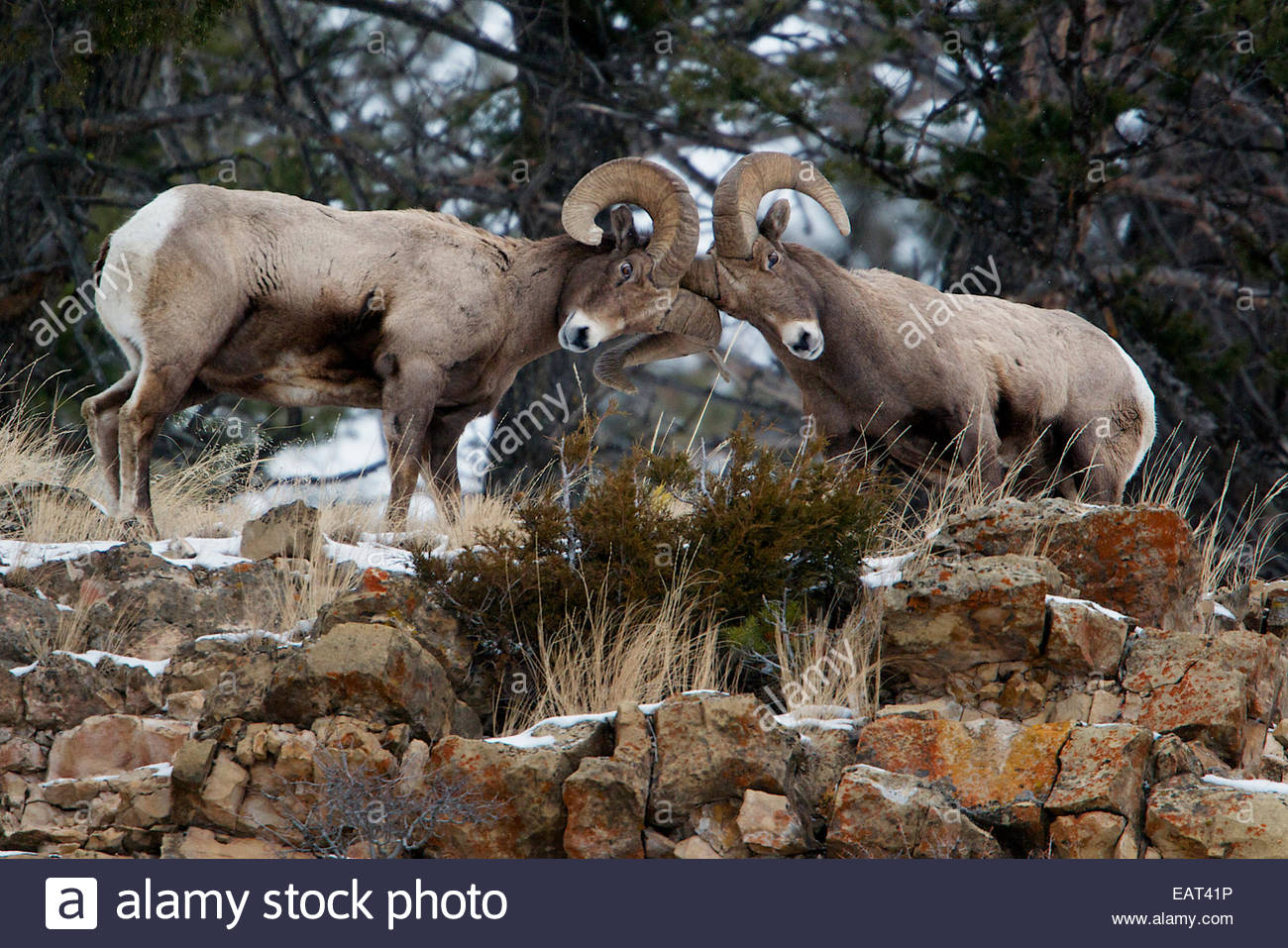 Heads Of Rams Stock Photos & Heads Of Rams Stock Images - Alamy