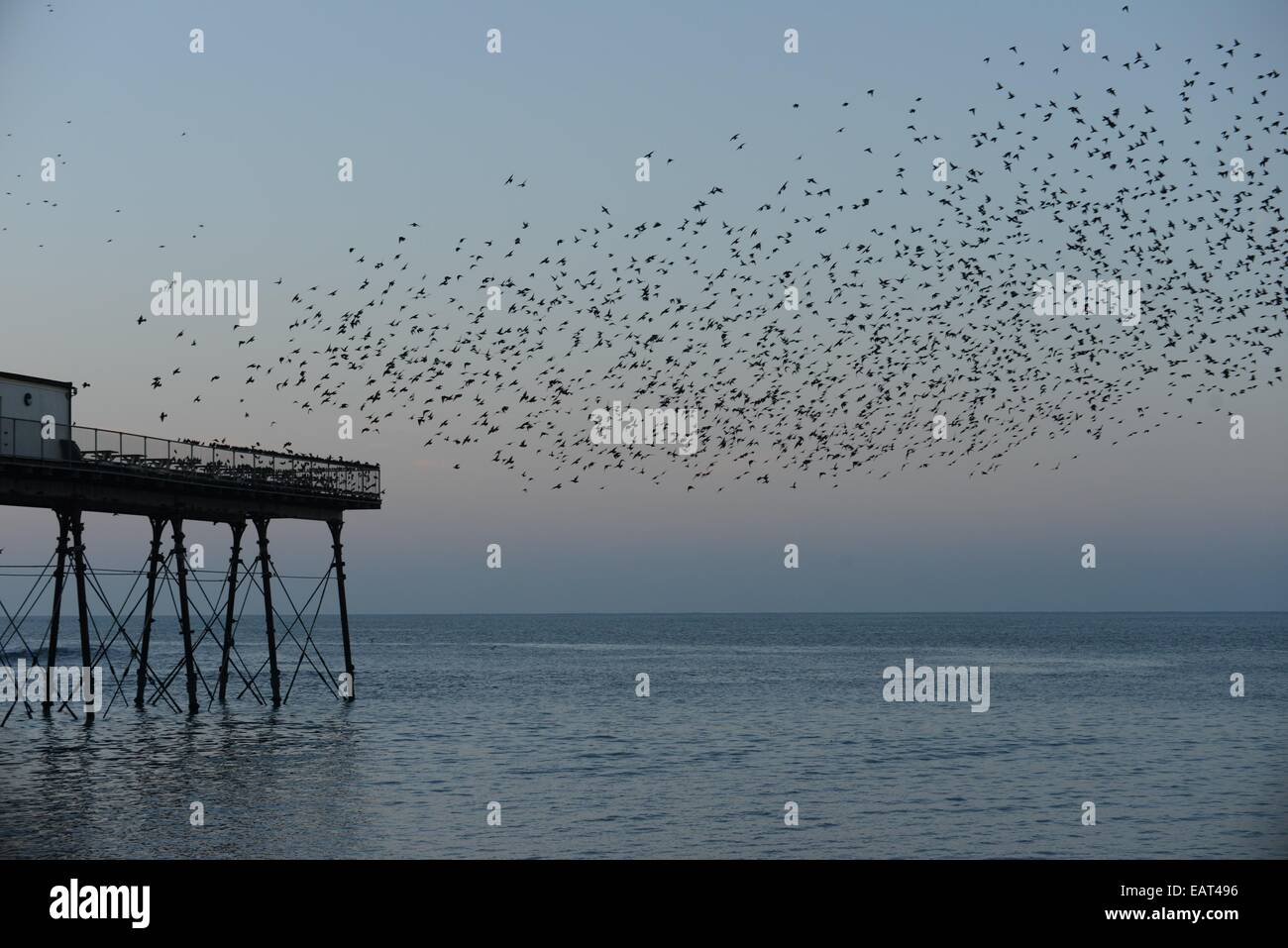 Aberystwyth, Wales, UK. 20th November, 2014. Starlings roosting on Aberystwyth  pier at sundown. The dramatic murmuration - Stock Image