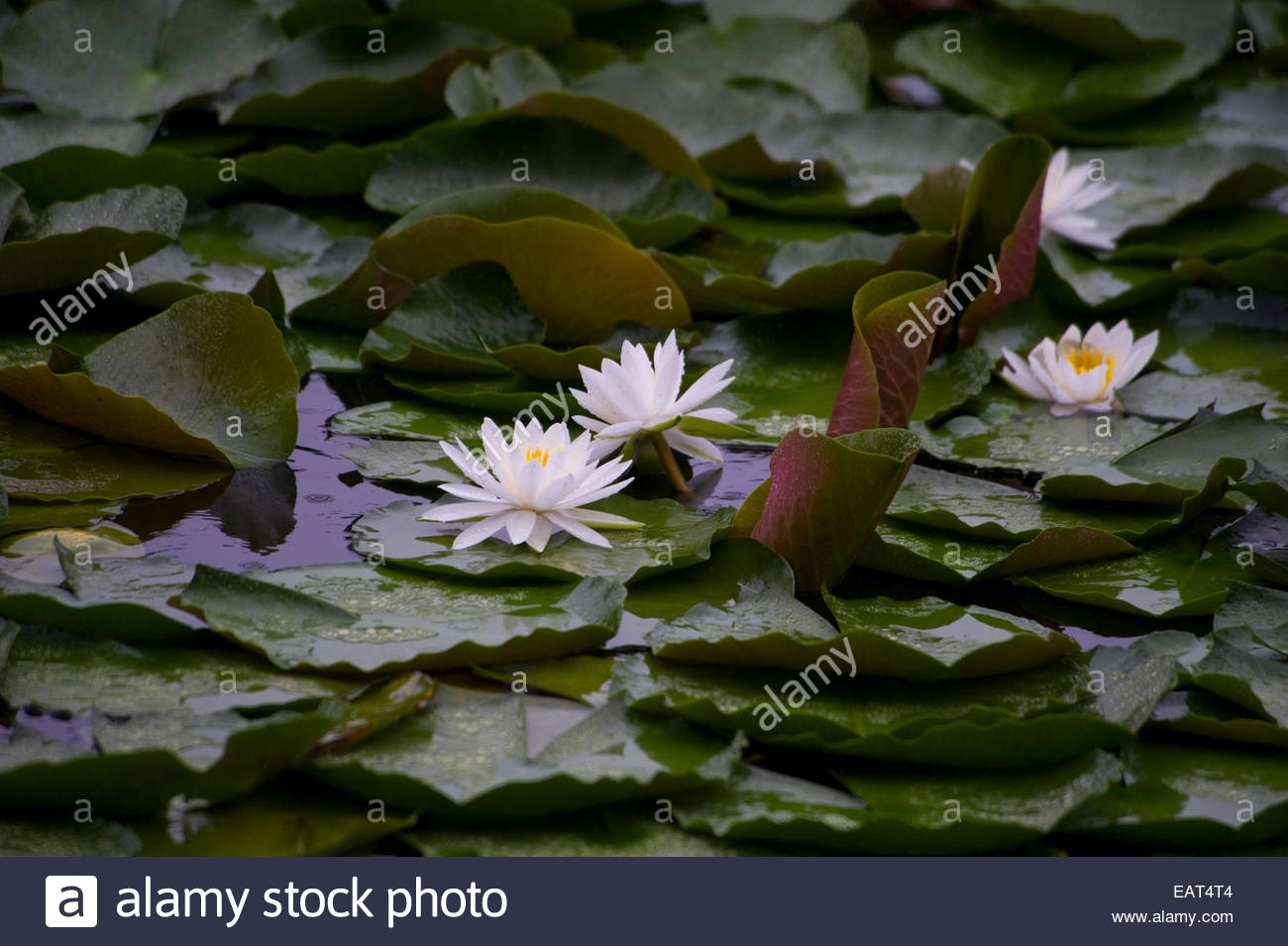 Water lilies soak up the summer rain. - Stock Image
