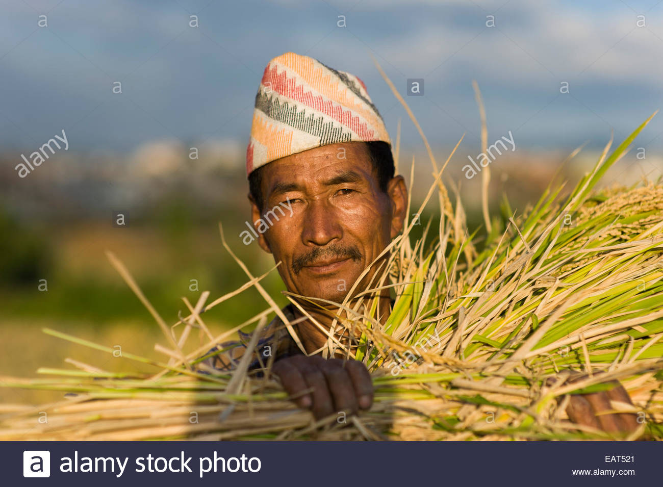 A man clutches a freshly harvested bundle of rice in Kathmandu - Stock Image