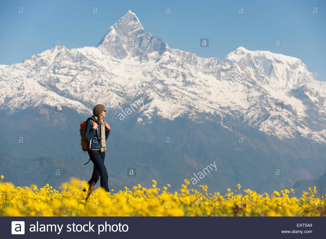 A trekker walks past mustard flowers with views Fishtail mountain - Stock Image