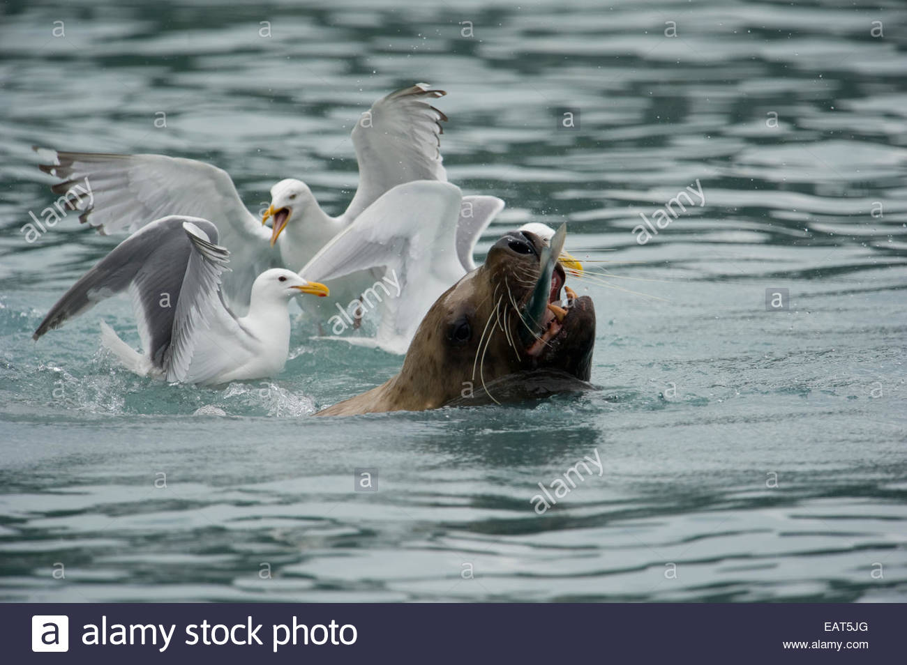 A Steller's sea lion eating a fish among glaucous winged gulls. - Stock Image