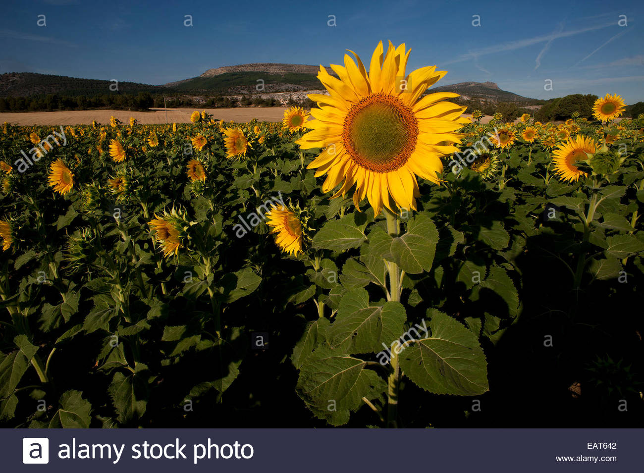 A field of sunflowers in Covarrubias. - Stock Image