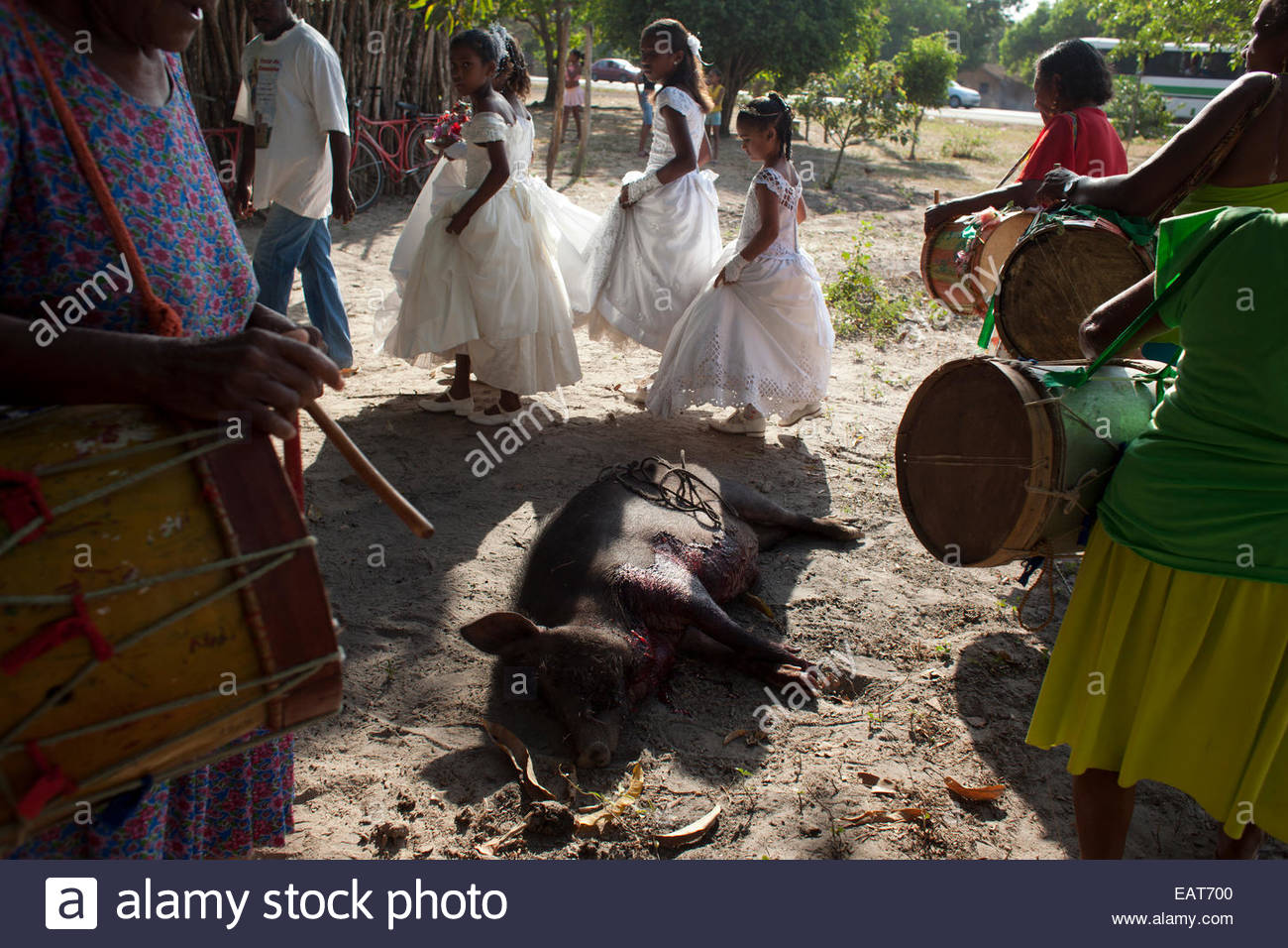 A pig is slaughtered for the Feast of the Divine Saint Spirit. - Stock Image