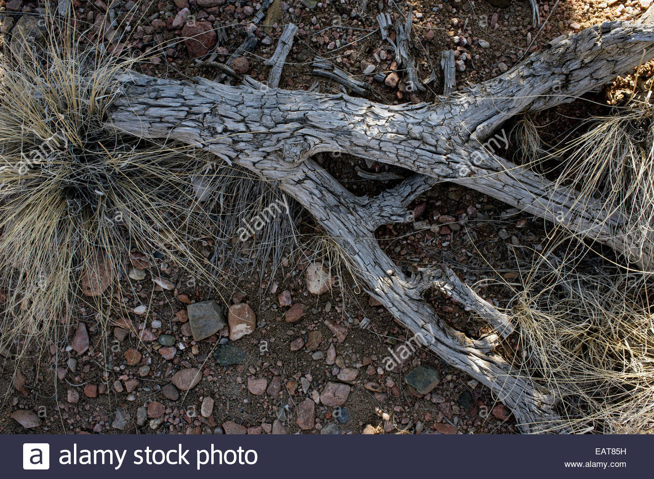 A weathered and sunbaked piece of wood rests in the Galisteo Basin - Stock Image