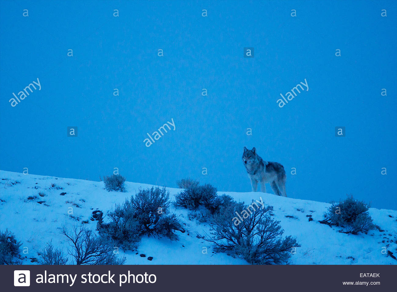 At dark, a gray wolf appears on a ridge. - Stock Image
