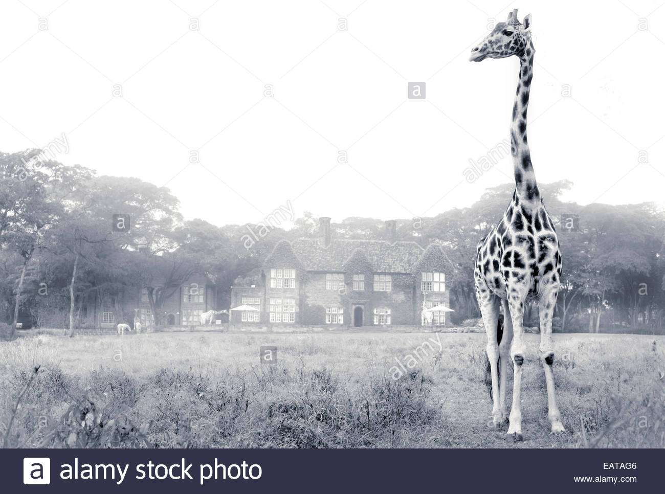 A Rothschild Giraffe in front of Giraffe Manor on a misty morning. - Stock Image