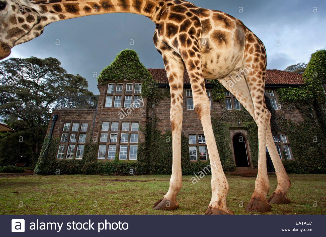 A Rothschild Giraffe frames Giraffe Manor with its neck. - Stock Image