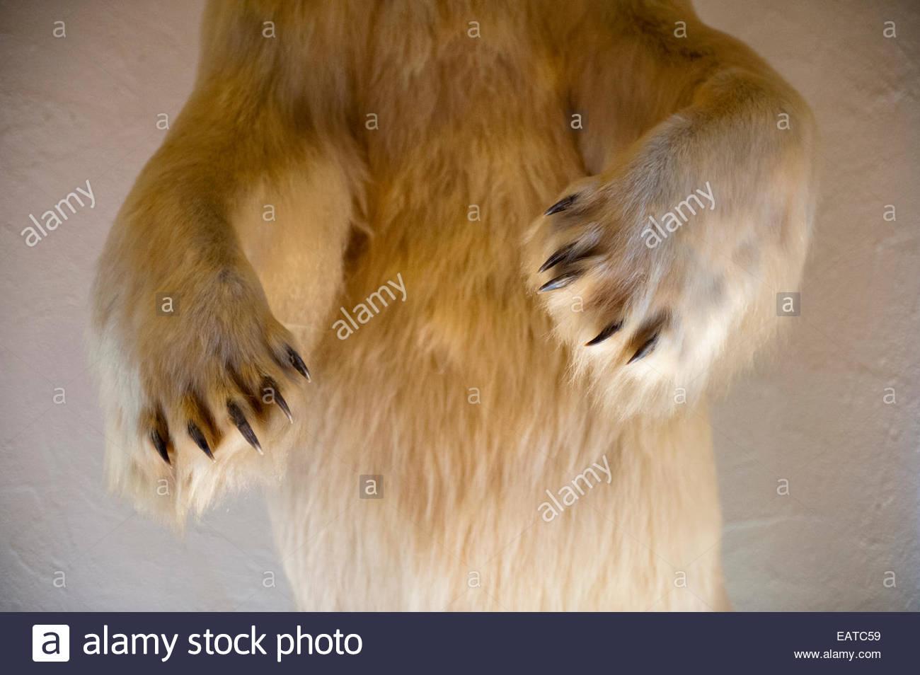 Close up of a mounted polar bear. - Stock Image