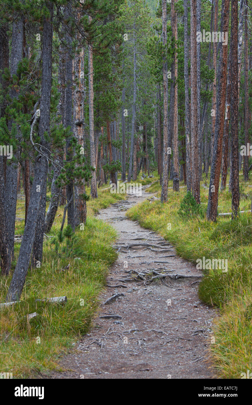 Path covered with tree roots among Scots Pine (Pinus silvestris) trees in coniferous forest - Stock Image