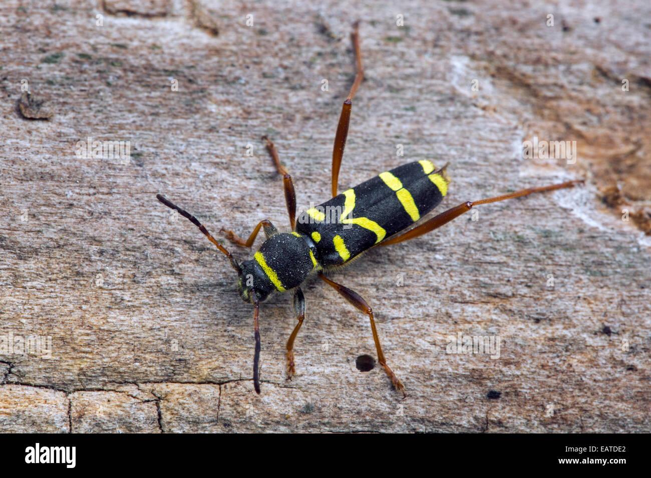Wasp beetle (Clytus arietis), wasp-mimicking longhorn beetle - Stock Image
