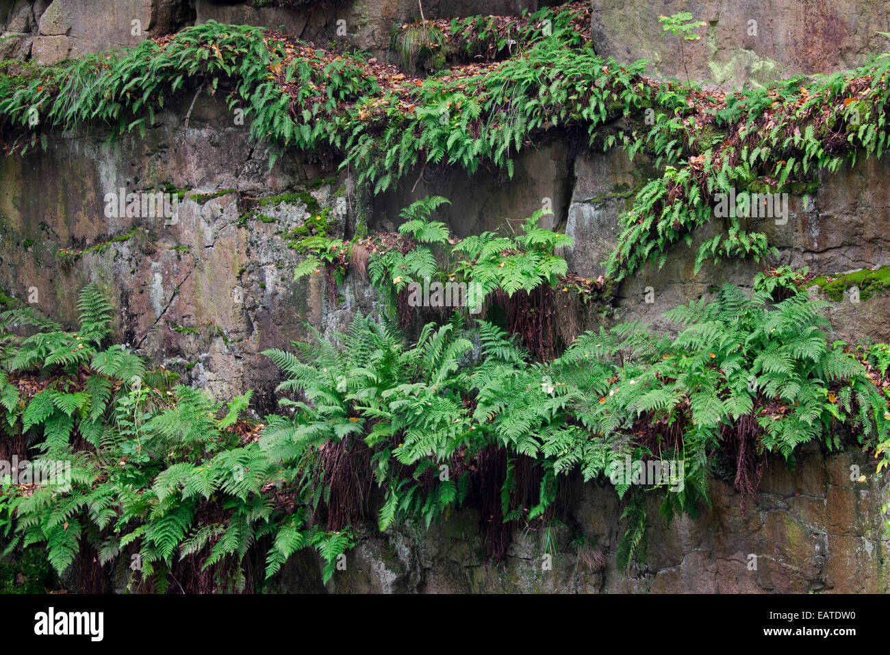 Common bracken / brake / eagle fern (Pteridium aquilinum) growing in rock face - Stock Image
