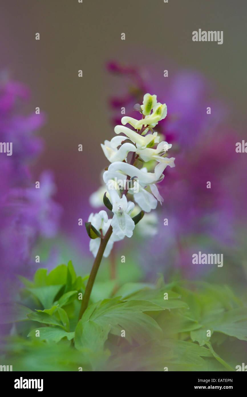 Bulbous Corydalis / Holewort / Hollow leek / Hollow root / Hollow wort (Corydalis cava / Corydalis bulbosa) in flower - Stock Image