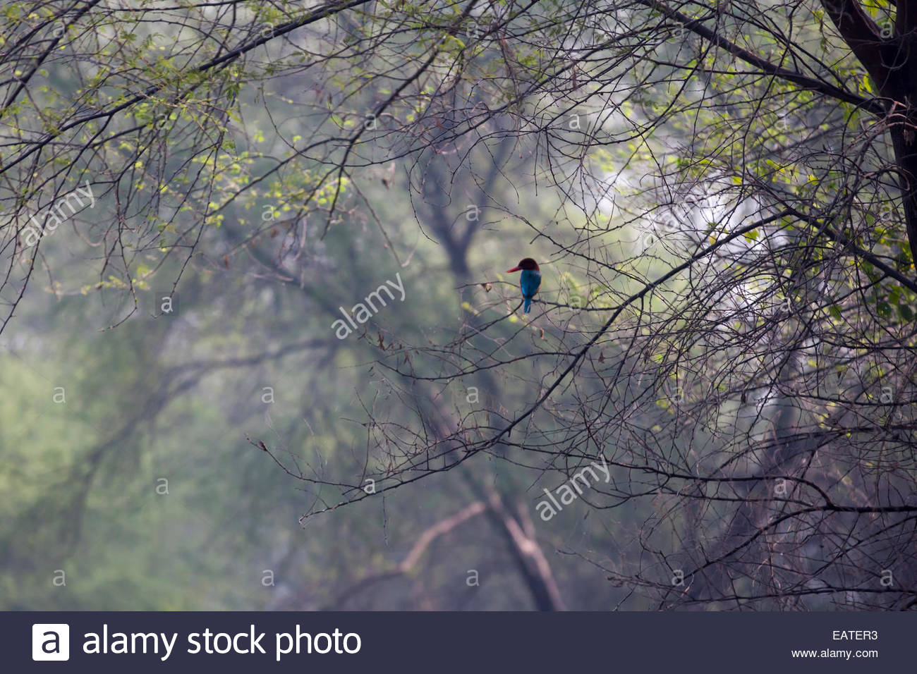 A kingfisher perched high in a tree top. - Stock Image