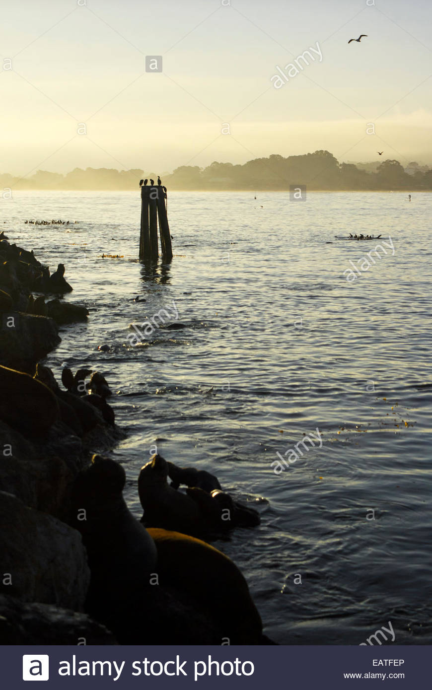 California sea lions and cormorants in the early morning beside the Coast Guard Pier, a 1700-foot breakwater in - Stock Image