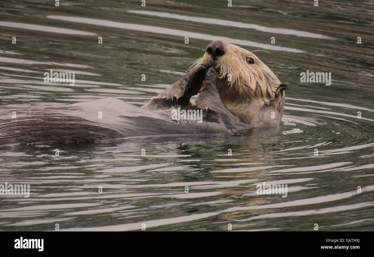 Sea otter (Enhydra lutris). Sea otters are one of the smallest of the Marine mammal family but one of the largest Stock Photo
