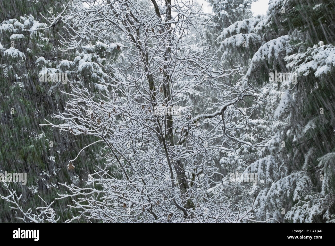 Forest of Black Oak, Dogwood, Madrone, Cedar and Fir is showered by a late spring snowfall. Northern California. - Stock Image