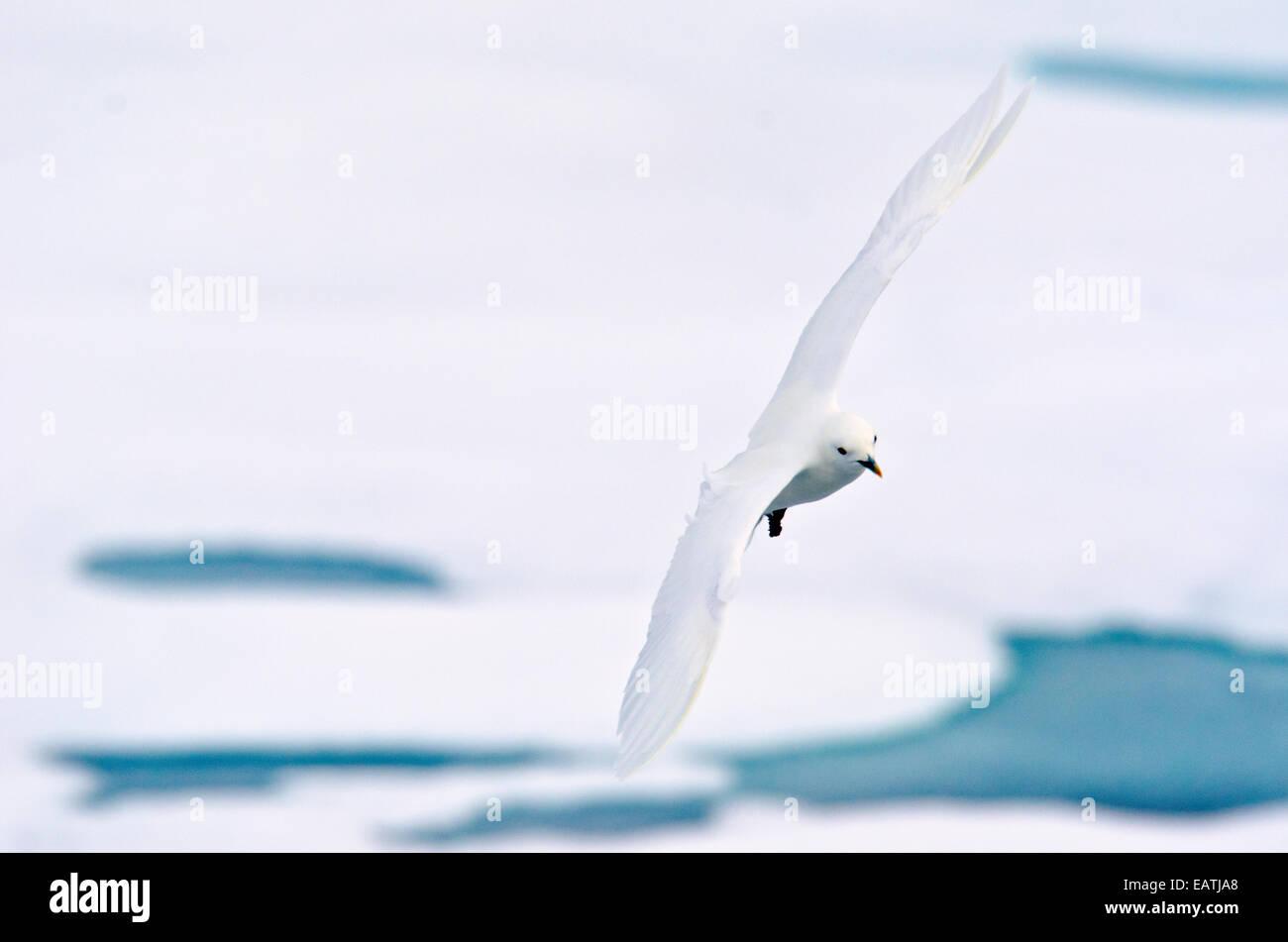 Rare sighting of an Ivory Gull, Pagophila eburnea soaring over the sea ice. - Stock Image