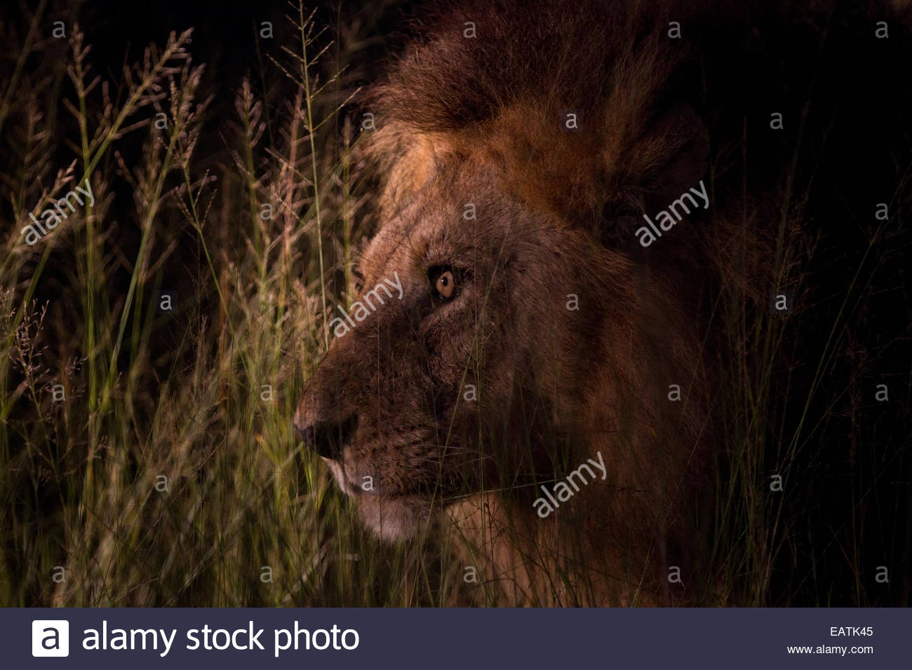 Portrait of a male African lion, Panthera leo krugeri, at night. - Stock Image