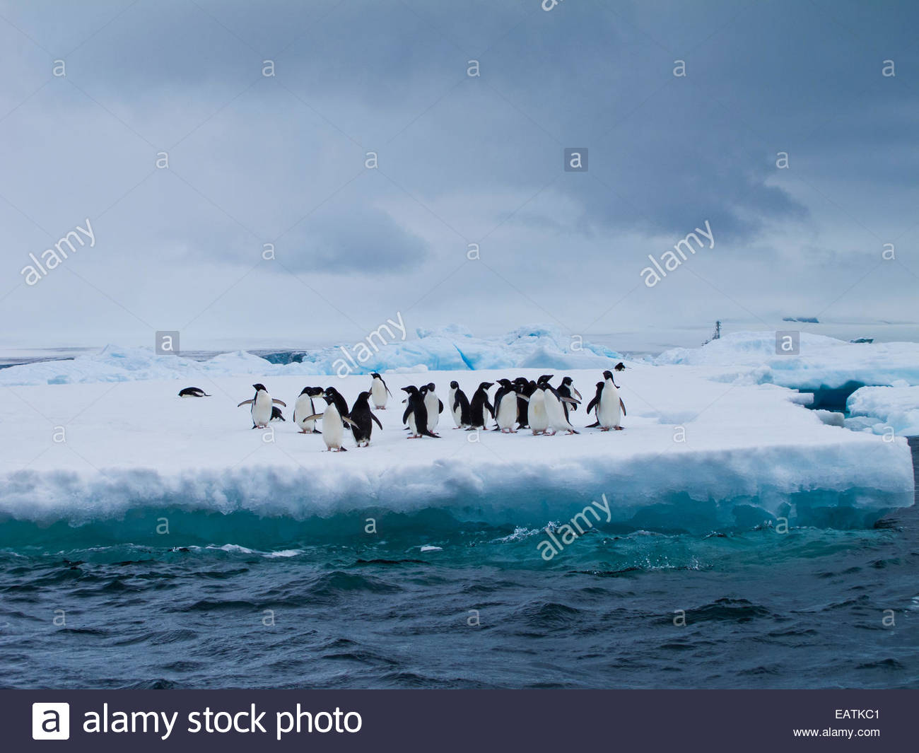 A colony of Adelie penguins meet on an iceberg. - Stock Image