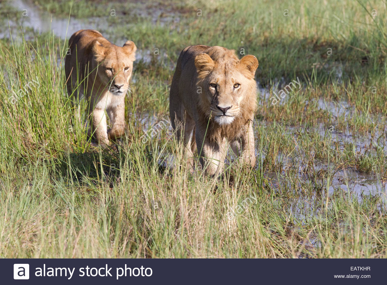 South African lions, Panthera leo krugeri, walking over wet ground. - Stock Image