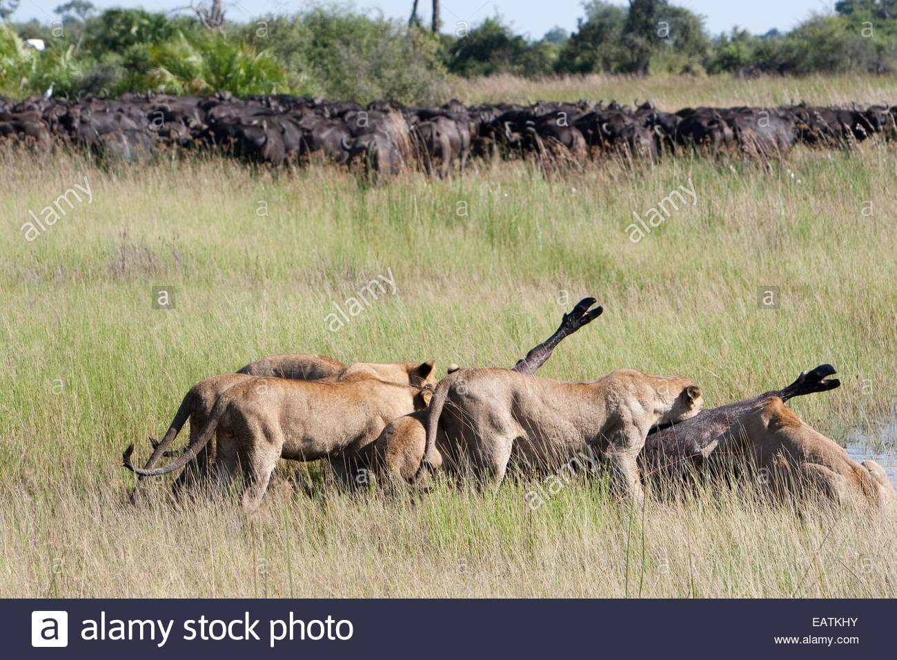 Female South African lions feeding on a freshly killed Cape buffalo. Stock Photo