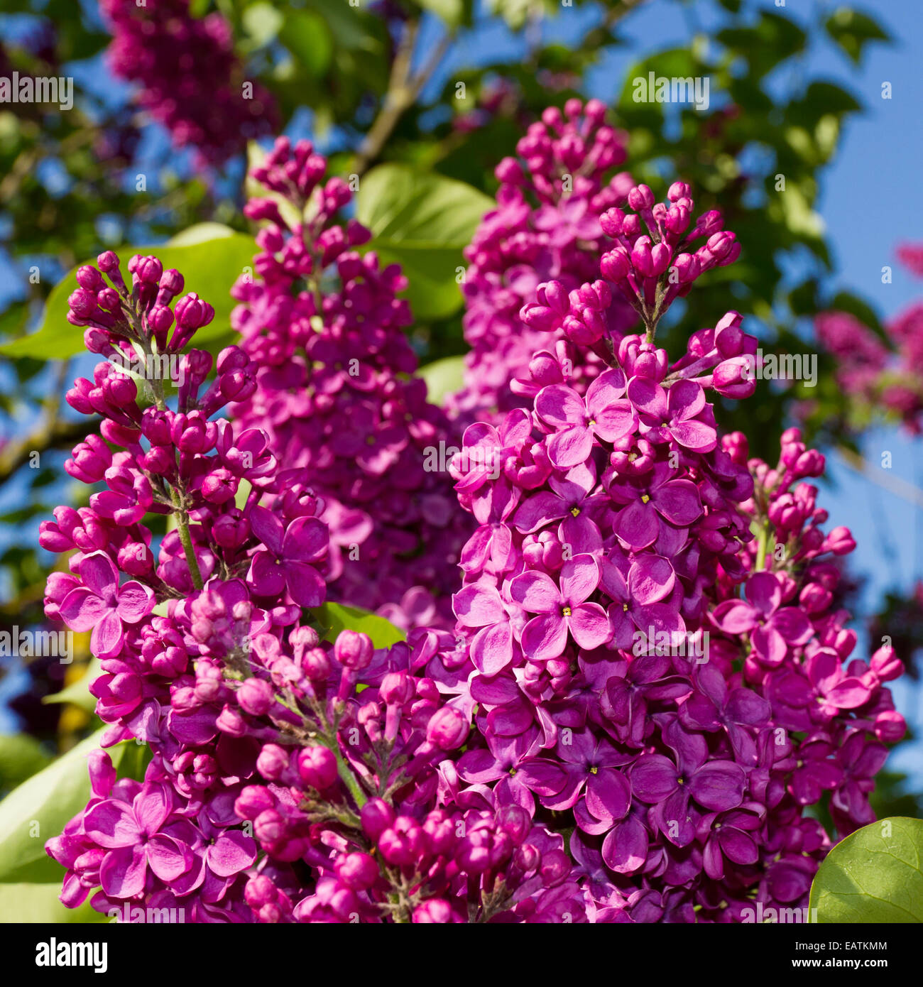 bunch of lilac flower - Stock Image