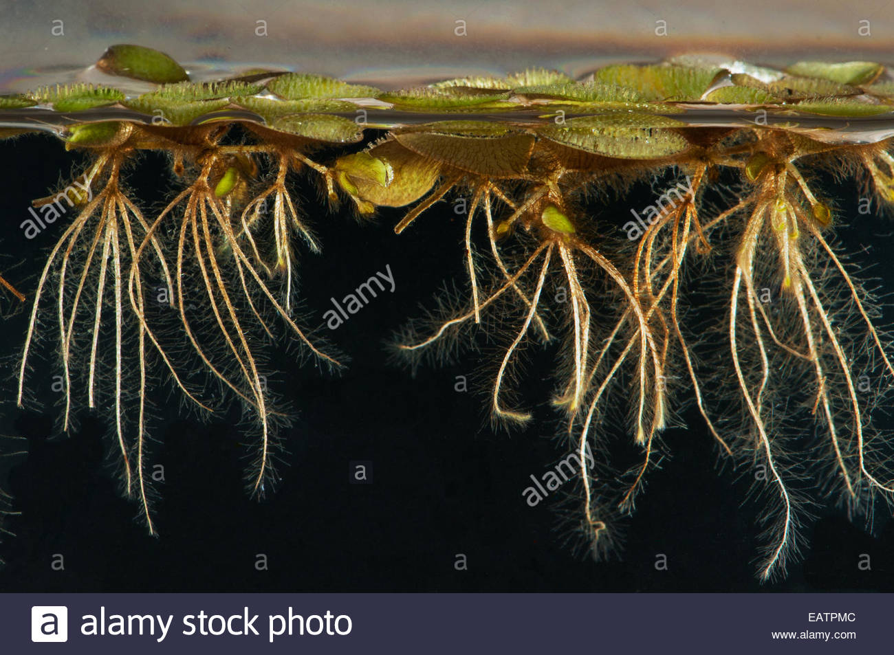 Lateral view of a floating fern, Salvinia species, with roots in water. - Stock Image