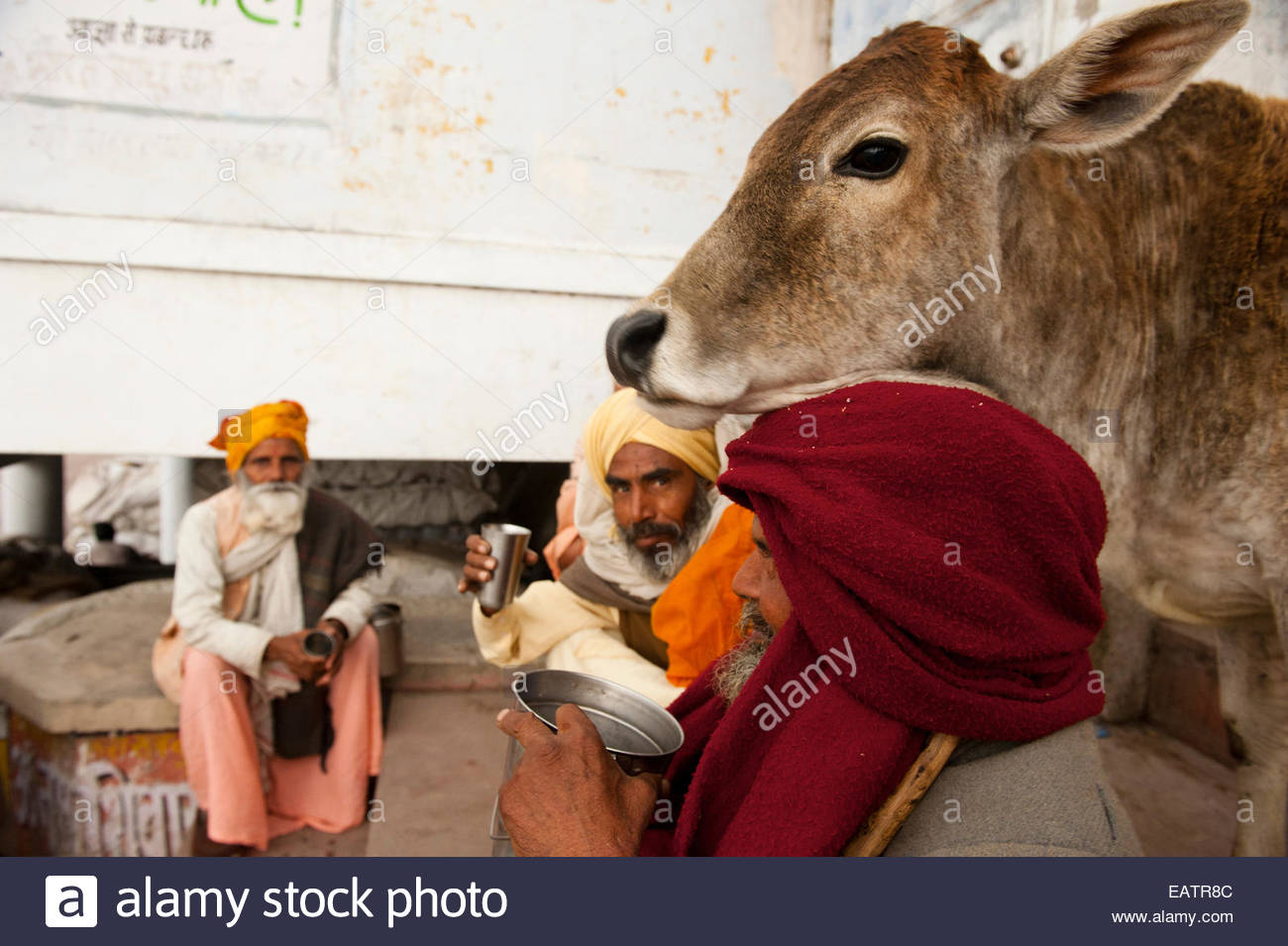 A cow completes an afternoon tea scene, where cattle are revered by Hindus. - Stock Image