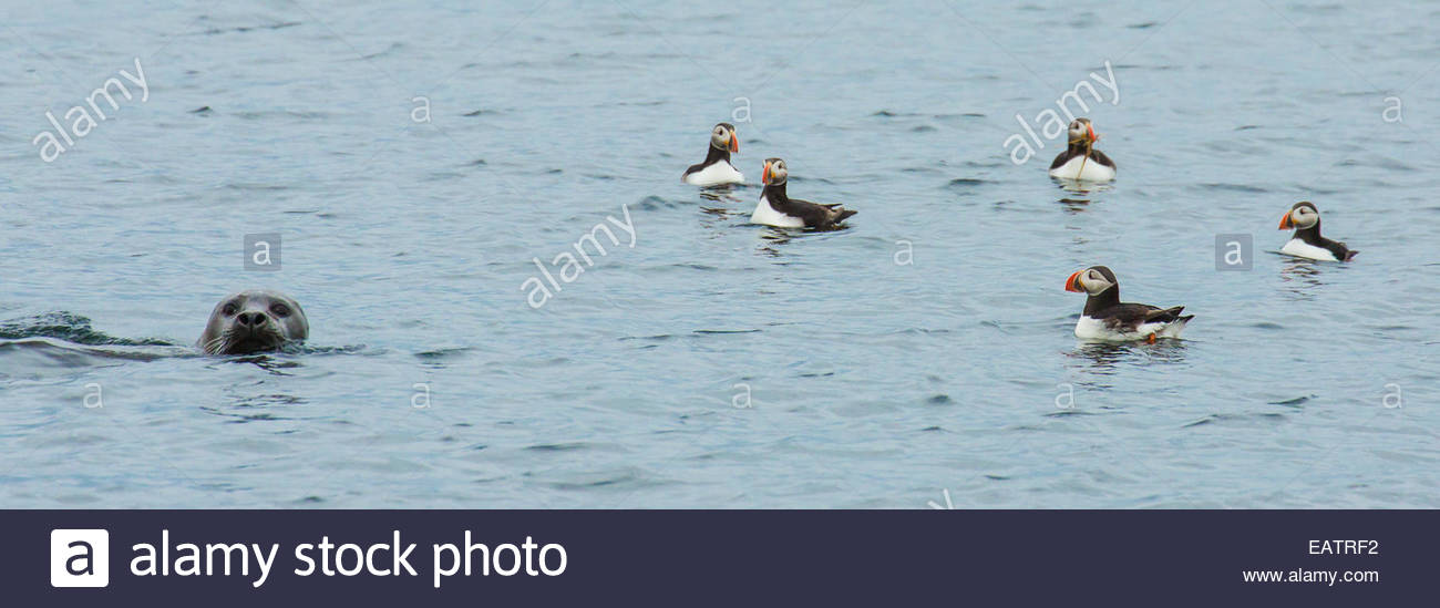 Atlantic puffins swim near a seal in the Atlantic. Stock Photo
