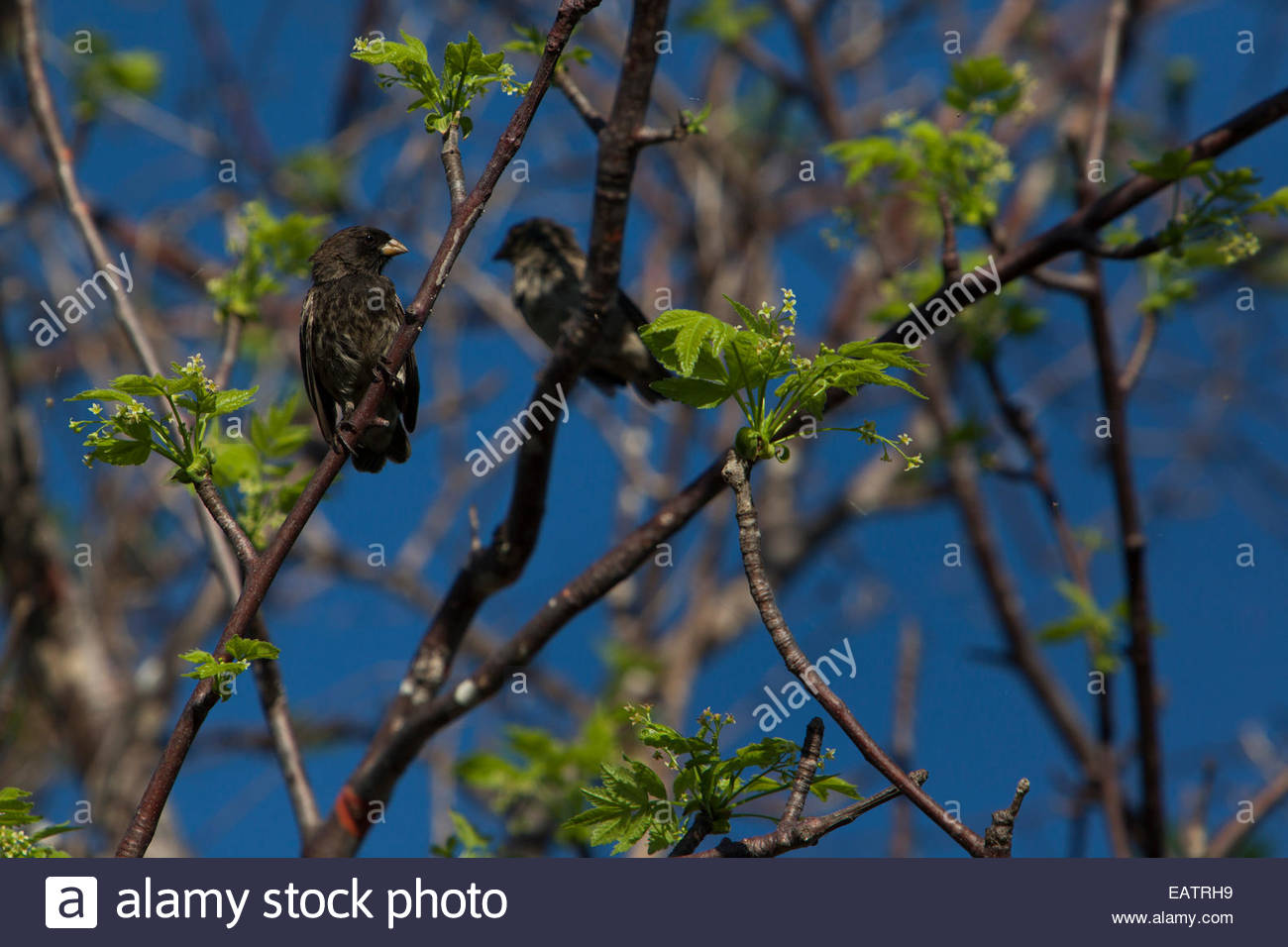 Two Galapagos finches rest on a branch in Galapagos National Park. - Stock Image