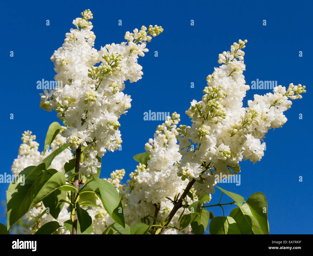 bunch of white lilac flower - Stock Image