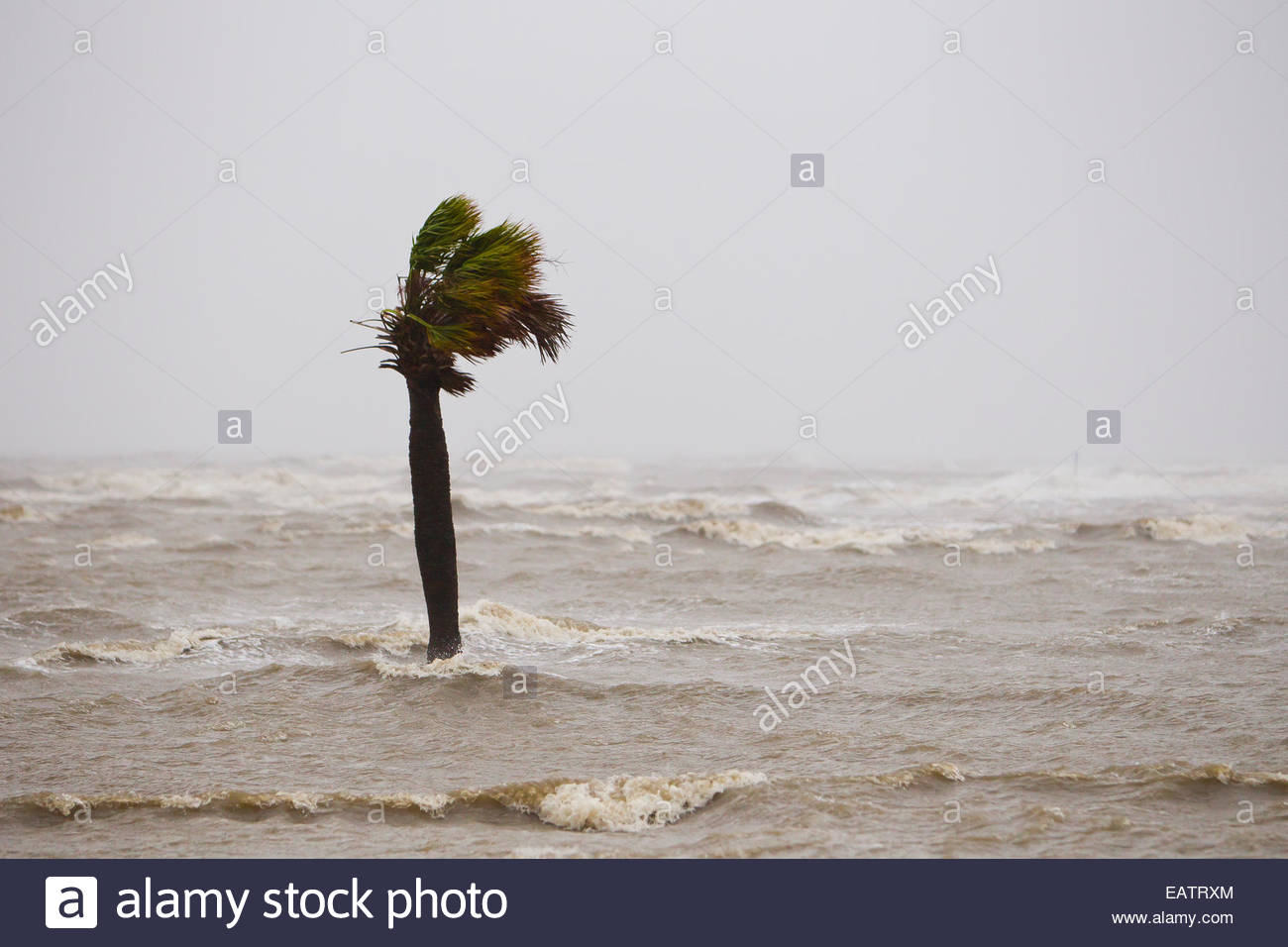 A palm tree in Hurricane Isaac's storm surge along Highway 90. - Stock Image