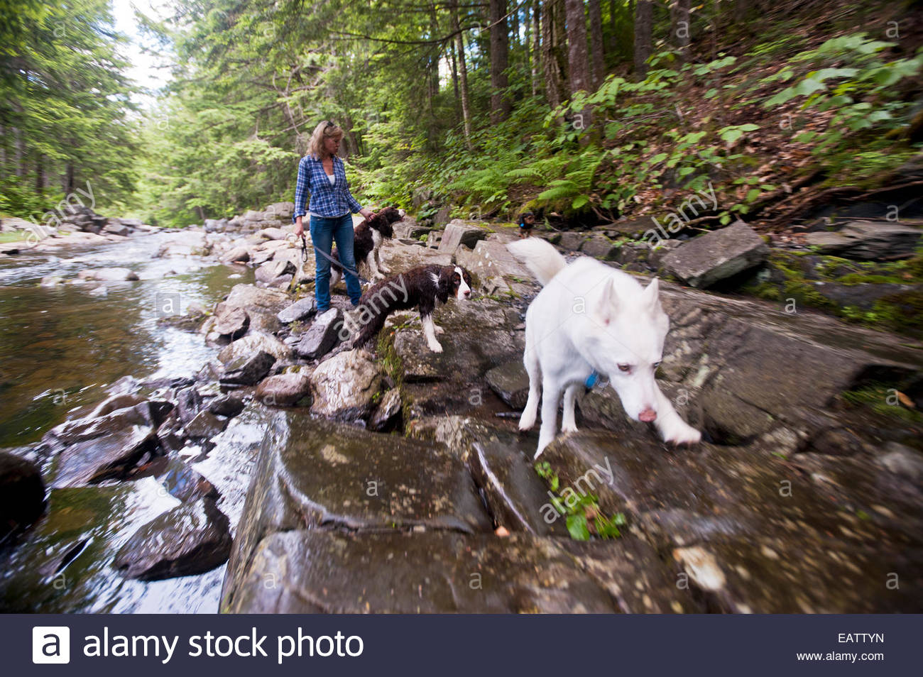 A woman and dogs walking in a forest on a shallow, rocky,  river bed. - Stock Image