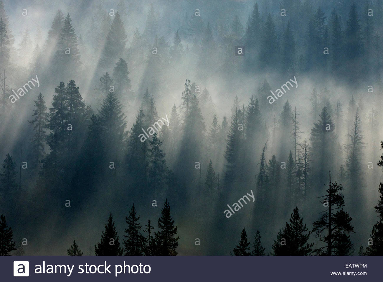 A forest appears out of the morning fog. - Stock Image